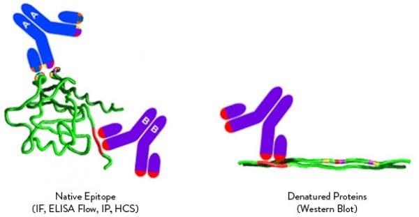 TRUEMAB Monoclonal Antibodies